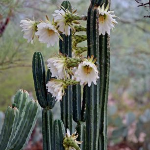 San Pedro Cactus Plant With Flowers