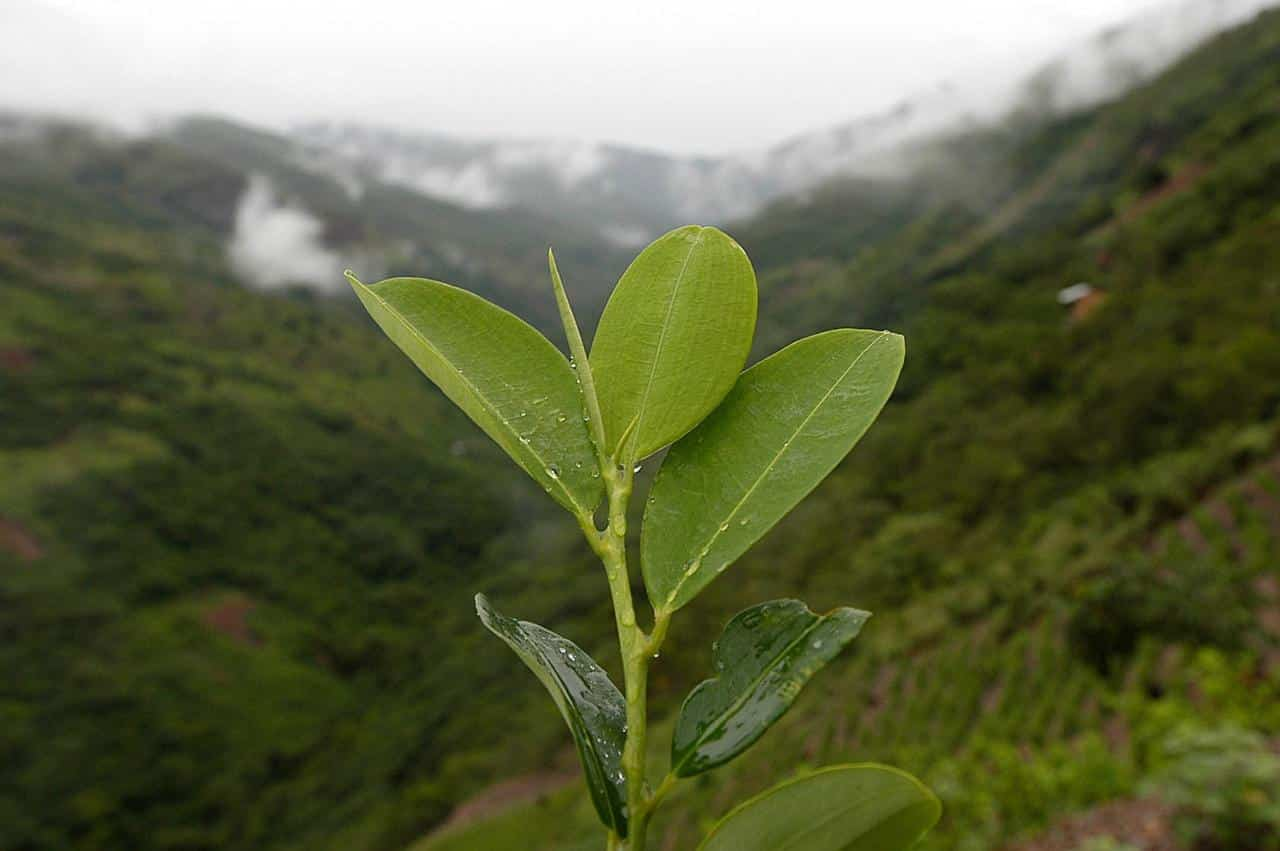 Chronicles of the Coca Leaf
