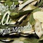 sacred coca leaves