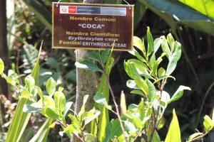 coca leaves in Peru