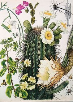 Benefits and Medicinal Uses of the San Pedro cactus